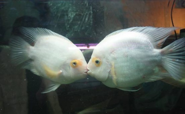 kissing-fish-5